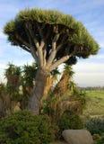 Árbol del cacto Imagen de archivo