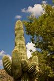 Árbol del cacto y de pino del Saguaro bajo un cielo azul Foto de archivo libre de regalías