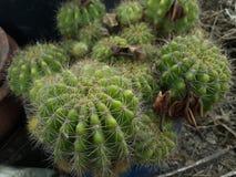 Árbol del cactus Fotografía de archivo libre de regalías