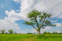 Árbol del campo Fotos de archivo