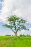 Árbol del campo Fotos de archivo libres de regalías
