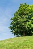 Árbol del castaño de Indias imagen de archivo libre de regalías