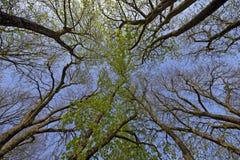 Árbol del castaño de Indias en primavera fotografía de archivo libre de regalías
