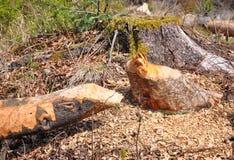 Árbol del castor Foto de archivo libre de regalías