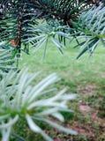 Árbol del cedro fotografía de archivo libre de regalías