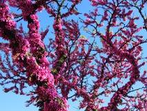 Árbol del Cercis Fotografía de archivo libre de regalías