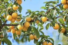 árbol del Cereza-ciruelo con las frutas Foto de archivo libre de regalías