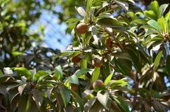 Árbol del chikoo de los zapotes Imágenes de archivo libres de regalías