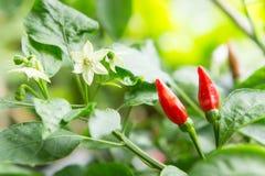 Árbol del chile en el jardín Fotos de archivo libres de regalías
