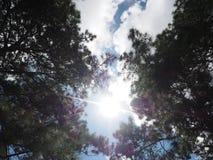 Árbol del cielo foto de archivo