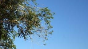 Árbol del cielo Foto de archivo libre de regalías
