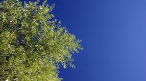 Árbol del cielo Fotos de archivo libres de regalías