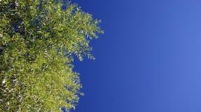 Árbol del cielo Imagenes de archivo