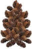 Árbol del cono del pino fotografía de archivo libre de regalías