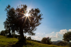 Árbol del contraluz en el campo Foto de archivo libre de regalías