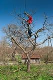 Árbol del corte del jardinero con las podadoras Imágenes de archivo libres de regalías