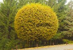 Árbol del corte redondo por el camino en otoño foto de archivo