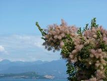 Árbol del Cotinus en la floración Fotos de archivo libres de regalías