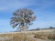 Árbol del Cottonwood de Arivaca Fotos de archivo libres de regalías
