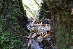 Árbol del cuenco en Oregon Fotografía de archivo