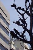 Árbol del cuervo de la ciudad Imagenes de archivo