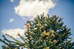 Árbol del árbol de navidad de las ramas en fondo del cielo azul foto de archivo