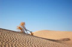 Árbol del desierto Imagen de archivo libre de regalías