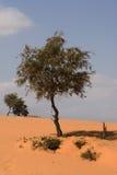 Árbol del desierto Foto de archivo libre de regalías
