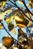 Árbol del dinero con las hojas de oro contra el cielo azul Imagenes de archivo