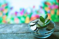 Árbol del dinero en un fondo de la primavera en de madera Fotografía de archivo libre de regalías