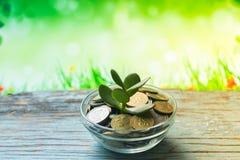Árbol del dinero en un fondo de la primavera en de madera Foto de archivo