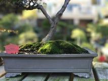Árbol del enebro de los bonsais con el musgo Imagenes de archivo