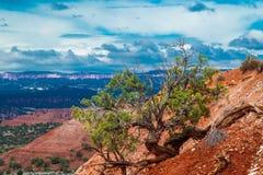 Árbol del enebro de Utah Foto de archivo