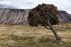 Árbol del enebro que se inclina Foto de archivo