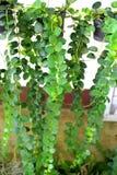 Árbol del escalador Imagen de archivo