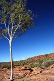 Árbol del eucalipto en reyes Canyon imagen de archivo