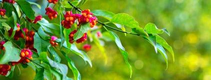 Árbol del Euonymus en parque del otoño Imagen de archivo libre de regalías