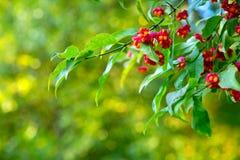Árbol del Euonymus en parque del otoño Foto de archivo libre de regalías