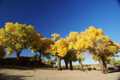 Árbol del euphratica del Populus con el cielo azul Fotografía de archivo
