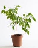 Árbol del Ficus Imagen de archivo libre de regalías