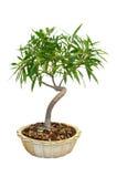 Árbol del Ficus de los bonsais Fotografía de archivo