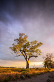 Árbol del Flinders Imagenes de archivo