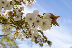 Árbol del flor Fotos de archivo libres de regalías