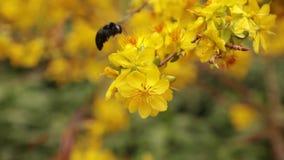 Árbol del flor del albaricoque de Bee And Yellow del carpintero almacen de video
