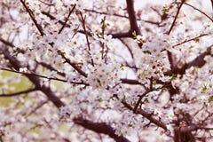 Árbol del flor con las flores de la primavera foto de archivo libre de regalías