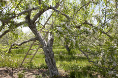 Árbol del flor de Apple con la escala fotografía de archivo libre de regalías