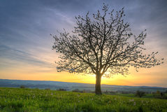 Árbol del flor de cereza en la puesta del sol Fotos de archivo libres de regalías