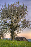 Árbol del flor de cereza en la puesta del sol en granja Imagen de archivo libre de regalías
