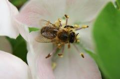 Árbol del flor del membrillo Foto de archivo libre de regalías