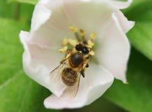 Árbol del flor del membrillo Imagenes de archivo